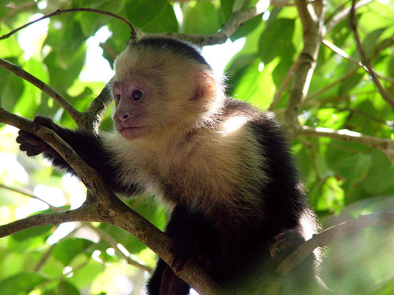White Faced Capuchin Baby Baby White Faced Capuchin